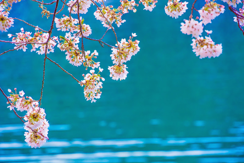 Lake kawaguchiko, cherry blossoms 10