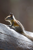 Chipmunk - Yosemite National Park, California