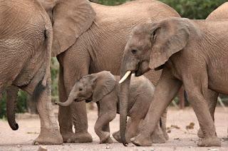 Puščavski sloni včasih pridejo na obisk v kamp