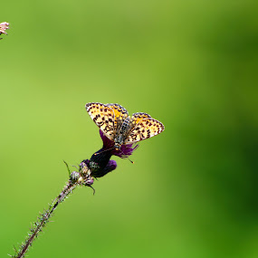 Butterfly on flower by Alexandru Lupulescu - Animals Insects & Spiders ( close up, nature, butterfly, nature close up, flower )