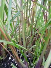 Photo: Lemongrass