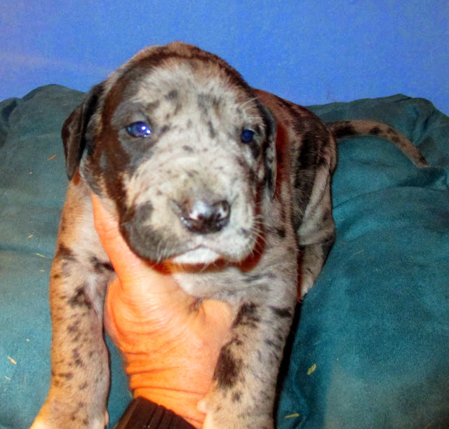 Available blue merle girl @ 3 weeks