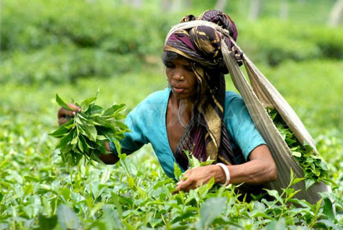 Tea leaf peaking at a tea garden in Srimangal