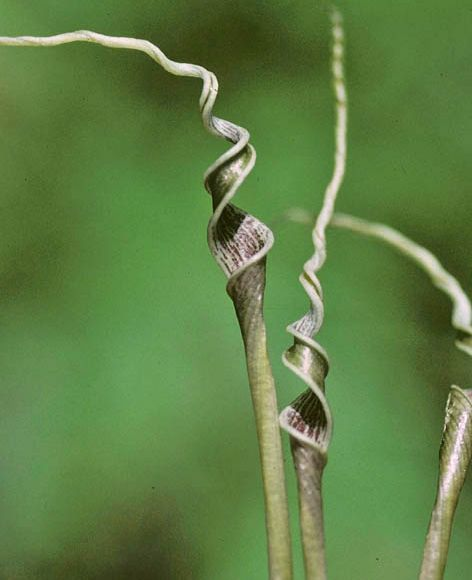 Криптокорина поникшелистная (Cryptocoryne crispatula var. flaccidifolia)
