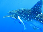 The_Whaleshark_Collection_at_Daedalus_Reef,_Red_Sea,_Egypt_passing_by_again_(6147234339).jpg