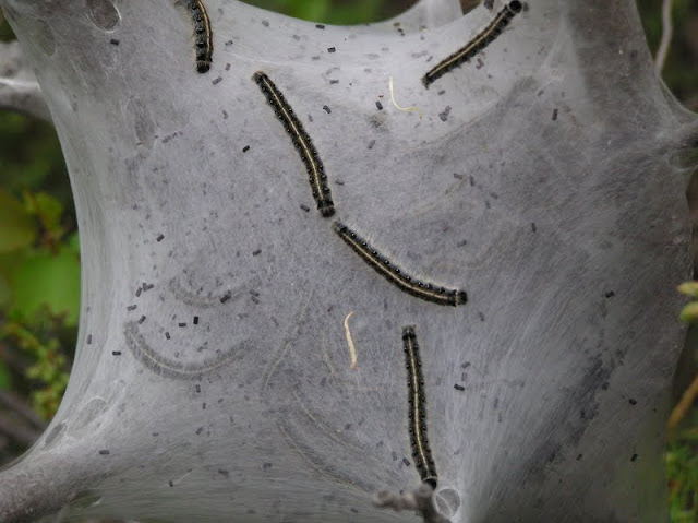 """Eastern Tent Caterpillars on and in """"nest"""""""