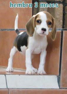 hembra  beagles de 3 meses