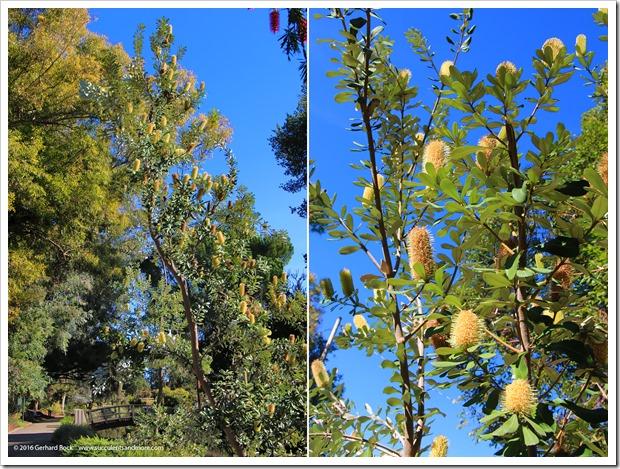 161127_UCDA_Banksia-integrifolia_006