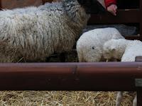 36 bárányok az óvárosháza udvarán.JPG