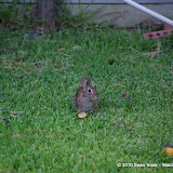 081310BackyardRabbit