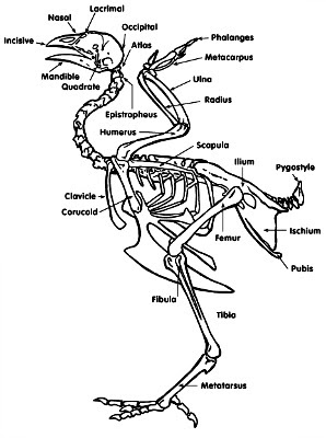 chicken-skeletal-anotomy.jpg