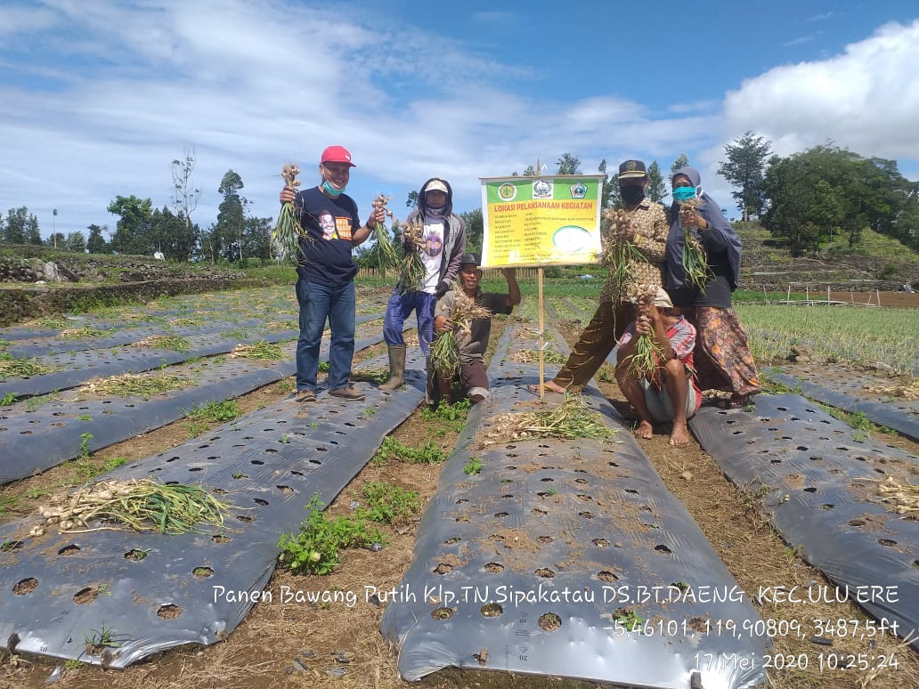 Antisipasi Kelangkaan Pangan Khususnya Komoditi Bawang Putih, Petani Bantaeng Lakukan Panen Bawang Putih