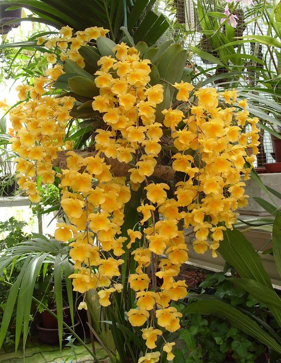 Dendrobium lindleyi S1052065
