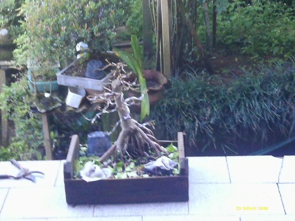 Ficus Microcarpa var. Indica... IMAG0323