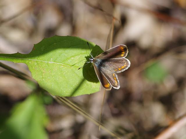 Polyommatus escheri escheri (HÜBNER, 1823), femelle. Chemin de La Rodé, 670 m, Cocurès (Lozère), 8 août 2013. Photo : J.-M. Gayman