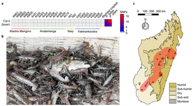 a, Representative genotyping results of 24 animals collected on four distinct collection sites. The heatmap indicates sequence similarities with the marbled crayfish reference sequence. P. fallax and P. alleni were included as controls. Cyt b, cytochrome b; SNPs, single-nucleotide polymorphisms. b, Marbled crayfish by-catch in a traditional fishing tool or 'tandroho'. c, Distribution of marbled crayfish on Madagascar (as of March 2017) in major biogeographical zones55, as indicated. Red dots indicate discovery sites where the presence of marbled crayfish was confirmed by DNA sequencing. White dots indicate sites where no marbled crayfish were found. The small central yellow circle indicates the distribution range reported for the year 2007. Graphic: Gutekunst, et al., 2018 / Nature Ecology and Evolution