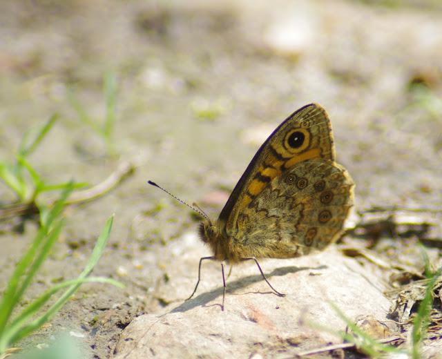 Lasiommata megera L., 1767. Les Hautes-Lisières (Rouvres, 28), 23 mai 2012. Photo : J.-M. Gayman