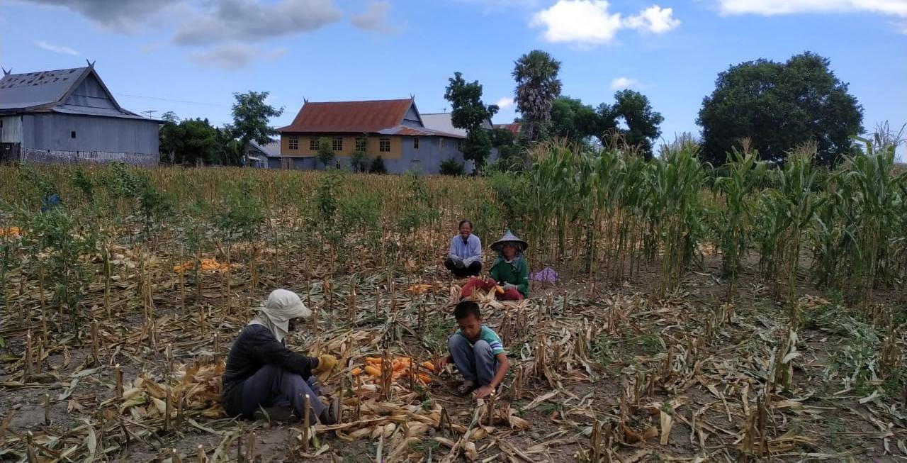 Penuhi Ketersediaan Pangan di Tengah Covid 19, Klp Tani di Turatea Jenneponto Panen Jagung