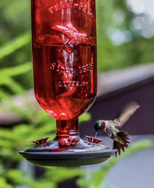 Hummingbird at feeder - www.goldenboysandme.com