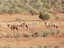 wildlife-camels-1.jpg