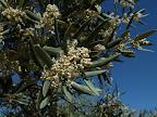 Olivenbluete.jpg