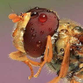 HoverFly by Noi Marquez - Animals Insects & Spiders ( macro, insect )