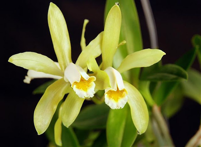 Растения из Тюмени. Краткий обзор - Страница 2 53-Cattleya-Fobesii