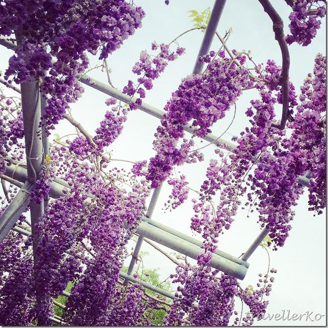 在最美的季節遇見足利紫籐花卉公園:門票交通攻略實況(下)15