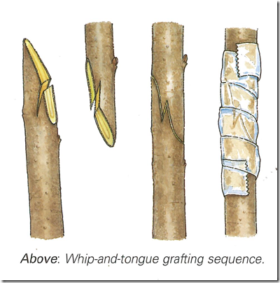 Whip-and-tongue grafting sequence