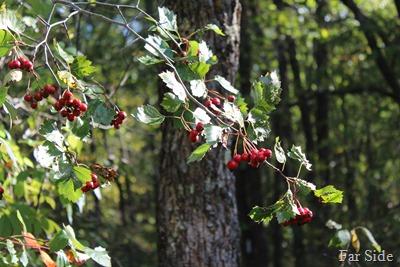 High Bush Cranberry fruit