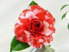 紅色地 白斑入り 千重咲き 大輪