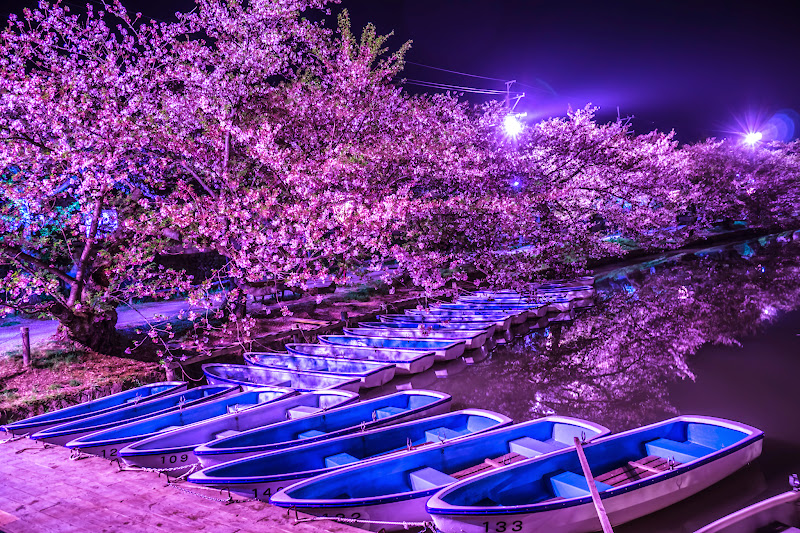 Hirosaki Park cherry blossoms illumination photo14