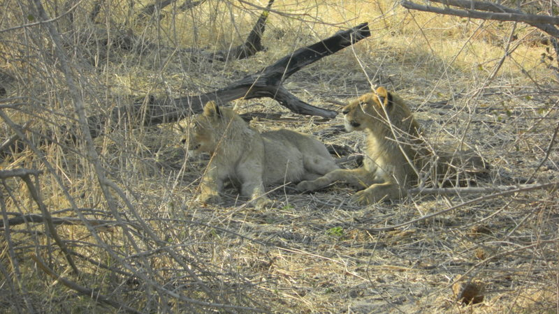 Lions seen in Moremi game reserve