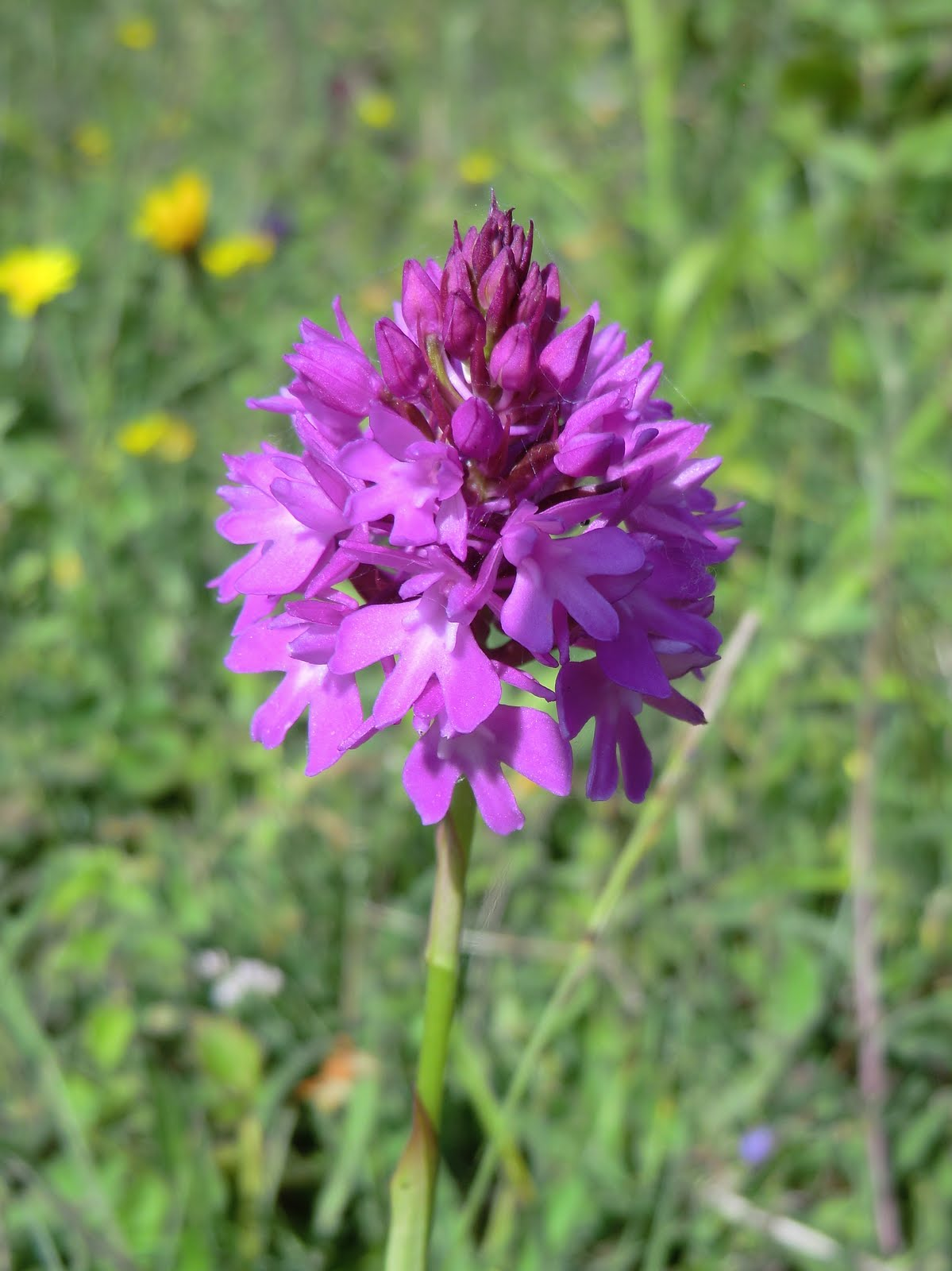 CIMG7438 Pyramidal Orchid, Round Hill