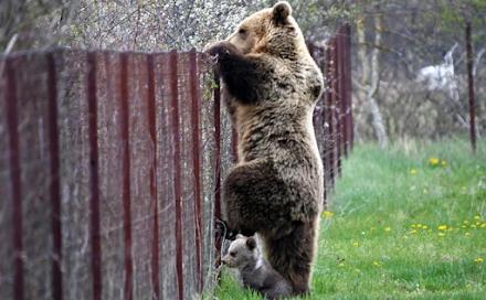 """Καστοριά : Αρκούδα πιάστηκε επ' αυτοφόρω να """"κλέβει"""" κεράσια μαζί με το μωράκι της"""