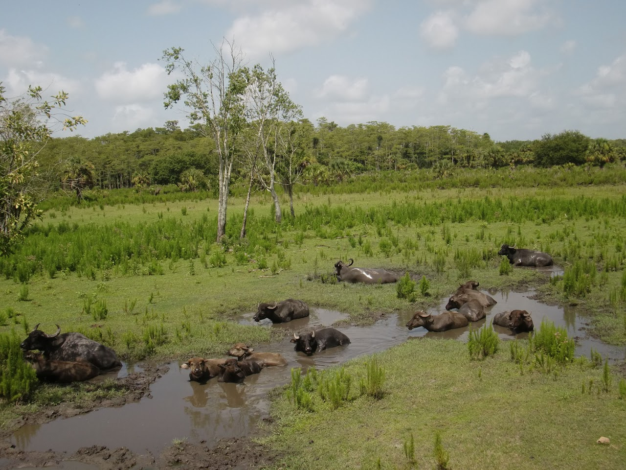Seabase 2012 - 2012%7E07%7E25 25 Asian Water Buffalo.jpg