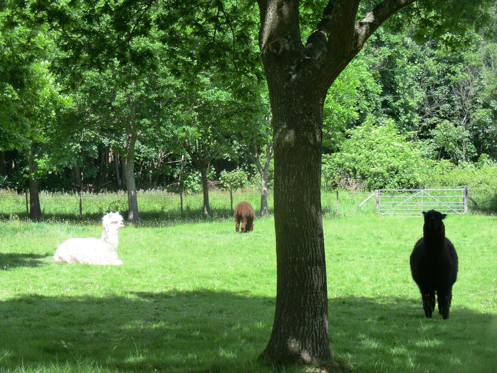 CIMG0468 Alpacas