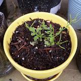 Gardening 2010, Part Two - 101_2294.JPG