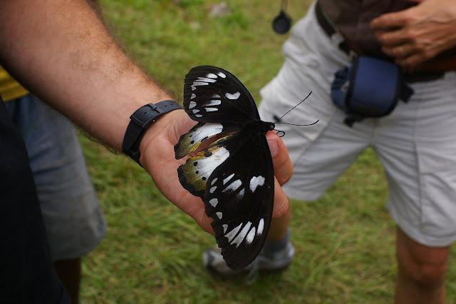 Ornithoptera paradisea arfakensis JOICEY & NOAKES, 1916, femelle. Mokwam, Arfak, 19 août 2007. Photo : Jean-Marc Gayman