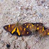 Notodontidae : Dioptinae : Phaeochlaena gyon (FABRICIUS, 1787), mâles (ou sp. apparentée). Colider (Mato Grosso, Brésil), 29 avril 2012. Photo : Cidinha Rissi