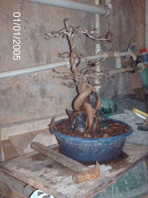 Ficus Nerifolia, Uma raiz de 3 anos... PICT1051