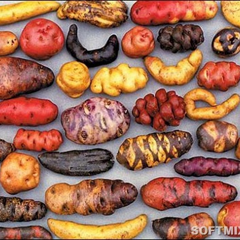 """""""Чертово яблоко"""": незнакомая картошка"""