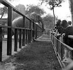 Látogatók az elefántoknál, a budapesti állatkertben, 1950 (Fotó: Fortepan)