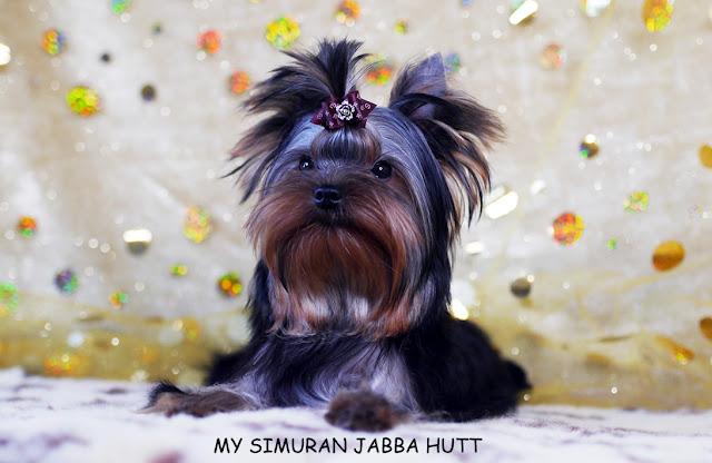 Ch. My Simuran Jabba Hutt (Дюшес) P1070056