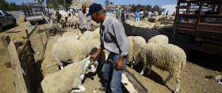 Aïd el Adha: Ouverture d'une enquête sur des viandes ovines putréfiées