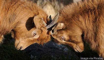goats-butting-heads