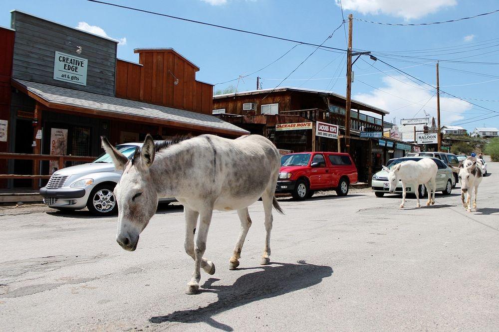 burros-oatman-4