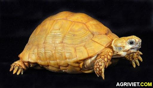 Agriviet.Com-Golden_Greek_Tortoise.jpg