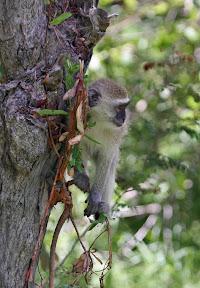 Vervet Monkey Baby, Zambia