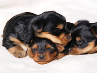 Two available yorkie pups